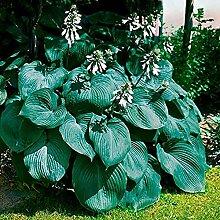 Vavrica Owens - 50/100 Stück Riesen Funkie Samen