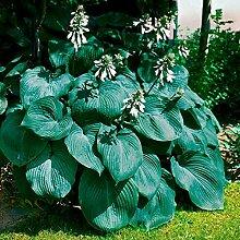 Vavrica Samen 100 stücke Giant Funkie Seeds Hosta