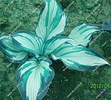vegherb 1: Recht Hosta Seed Bonsai Plantain Lily