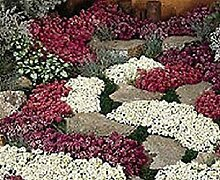 vegherb 100 Samen Alyssum Wonderland Mix