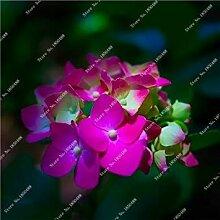 vegherb 12: Import Hydrangea-Blumensamen, Multi