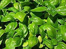 vegherb 1250 Genovese Basilikum-Kraut-Samen