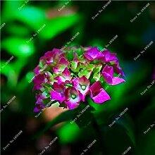 vegherb 14: Import Hydrangea-Blumensamen, Multi