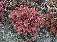 vegherb 17: Recht Hosta Seed Bonsai Plantain Lily