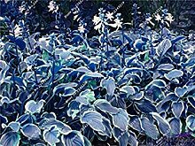 vegherb 18: Recht Hosta Seed Bonsai Plantain Lily
