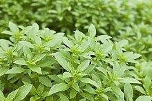 vegherb 1oz Thai-Basilikum-Samen ~ 21,000Ct