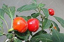 vegherb 20: Golden Cherry Pepper Samen Balkon