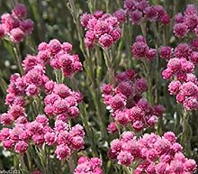 vegherb 200 Rosa pussytoes Seeds - Antennaria