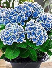 vegherb 20Pcs / Tasche Blaue Hydrangea Samen