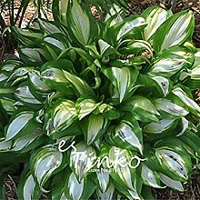 vegherb 30Pcs Hosta plantaginea Samen Fragrant