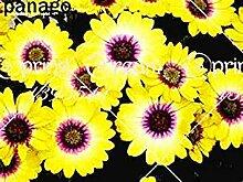 vegherb 5: 100 Stück/Beutel Schöne Blumensamen