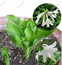 vegherb 6: Recht Hosta Seed Bonsai Plantain Lily