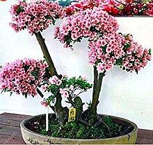 vegherb Beförderung! 20Pcs japanischen Sakura