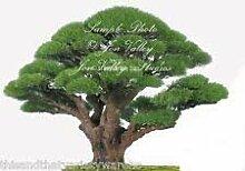 vegherb Casuarina equisetifolia Australian Kiefer