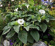 vegherb Datura Seeds Engels-Trompete Datura Belle
