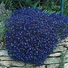 vegherb Frisch 1000 Seeds - Aubrieta Cascade Blau