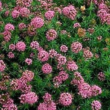 vegherb Frisch 1000 Seeds - Crossworts Bodendecker