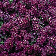 vegherb Frisch 2000 Seeds - Alyssum Deep Purple