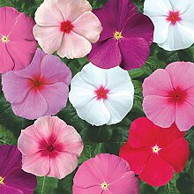 vegherb Frisch 4000 Seeds - Periwinkle Mix