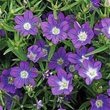 vegherb Frisch 5000 Seeds - Legousia Blau