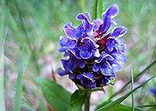 vegherb Frische 400 Seeds - Prunella Blau