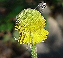 vegherb Helenium puberulum | Autumn Lollipop |