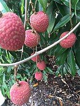 vegherb Lychee Topf Starter Pflanze Tropische