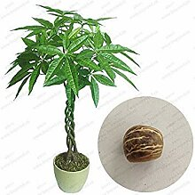 vegherb New Braid Pachira Big Money Tree Seeds