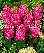 vegherb Pink: Neue 100 PC-Hyazinthe Bonsai,