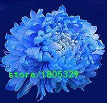 vegherb Rare Blau Weiß Chrysanthemum Samen