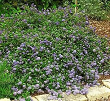 vegherb Squaw Teppich Seeds 15 PC (Ceanothus