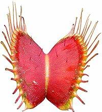 Venus-Fliegenfalle (Dionaea muscipula) 500 Samen