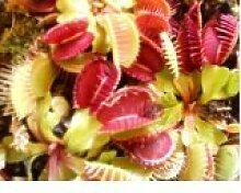 Venus-Fliegenfalle (Dionaea muscipula) 500 Samen (Fleischfressende Pflanze)