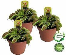 Venusfliegenfalle, 3Pflanzen, Dionaea, Fleischfressende Pflanze im 9cm Topf