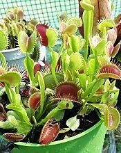 Venusfliegenfalle - ca. 30 Samen - Dionaea muscipula - fleischfressende Pflanze die neben Fliegen auch Spinnen, Ameisen und sogar Wespen fangen kann