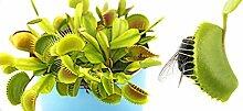 Venusfliegenfalle - Dionaea muscipula - ca. 20 Samen - fleischfressende Pflanze !!-