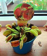 Venusfliegenfalle, fleischfressende Pflanze im 9