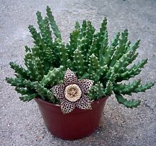 Veränderter Seestern Pflanze | Stapelia variegate