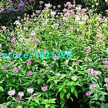 Vereinigte Mint Samen Balkon Topf Mint aromatische Pflanze Gemüsesamen Hat Strahlenschutz Effekte 200PCS