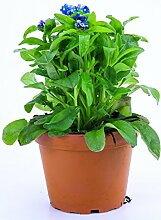 Vergissmeinnicht Pflanze blau im Topf aus eigener
