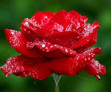 Verlust Förderung !!! 200pcs / bag seltene Farbe Samen Regenbogen blau rose Home Garten ausdauernde Pflanze Blume exotische Bonsai Samen 16