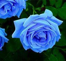 Verlust Förderung !!! 200pcs / bag seltene Farbe Samen Regenbogen blau rose Home Garten ausdauernde Pflanze Blume exotische Bonsai Samen 14
