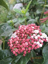 Viburnum tinus Lisarose Loren - Schneeball