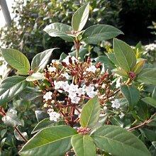 Viburnum tinus - (Mittelmeer-Schneeball)-