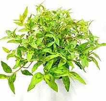 Vietnam Koriander Pflanze, POLYGONUM ODORATUM