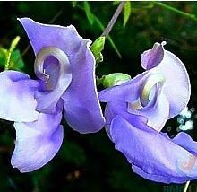 Vigna caracalla, Lavendel Snail Vine, 20 seltene Samen, reichlich blühende Pflanze, liebt Wärme, decken diesen Zaun!