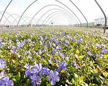 Vinca minor 50 Marie blau Immergrün Triebe 5/7