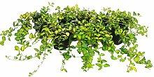 Vinca minor Illumination . Bodendecker. gelbgrünes Blatt. blüht blau. 10 Pflanzen im P 0.5 Liter-Topf