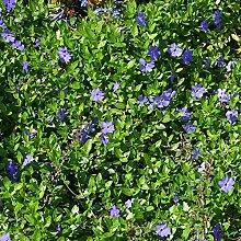 Vinca minor immergrüner Bodendecker winterhart