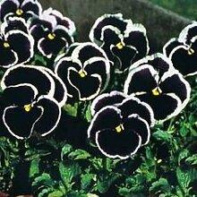 ViolaPansy Bonsai 200 Stück Stiefmütterchen